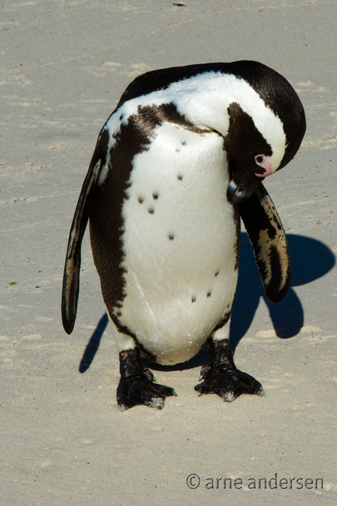 Boulders Beach Brillenpinguin